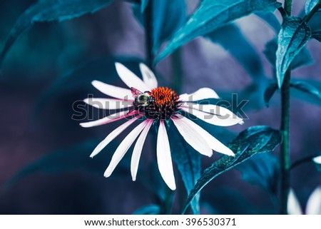 Close-up macro image shot of bee on beautiful fairy dreamy magic white daisy flower with dark green  leaves, retro vintage color, soft selective focus, copyspace for text - stock photo