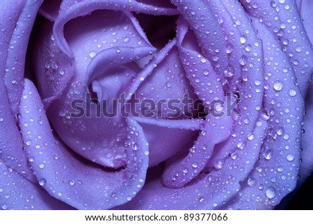 close-up macro micro blue rose with water drops - stock photo
