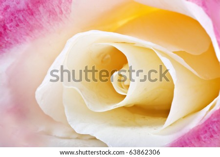 Close up macro of a pink and cream rose with very shallow depth of field - stock photo