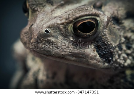 Close up macro of grumpy toads giant yellow eyes - stock photo