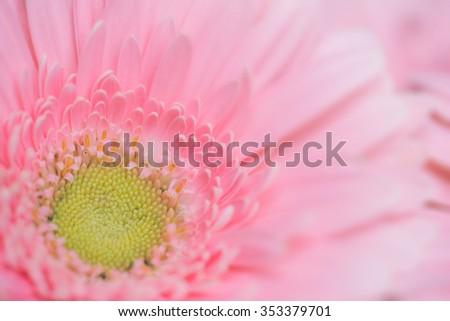 Close-up macro of pink gerbera flower - stock photo