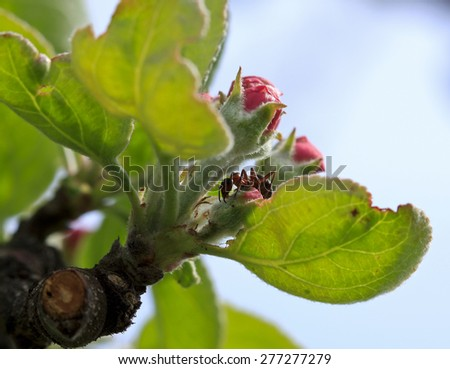 Close up, macro of red flowers and an ant on a apple tree in spring. Green leaves. - stock photo