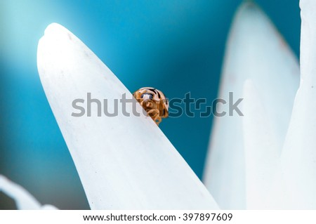 Close up, macro photo of ladybug on white leaf defocused background with fair light in the mornning - stock photo