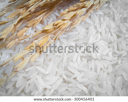Close up macro rice plant and white rice , uncooked raw cereals - stock photo