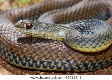 Close up macro shot of a beautifully Montpellier snake, the most common snake in Spain. - stock photo
