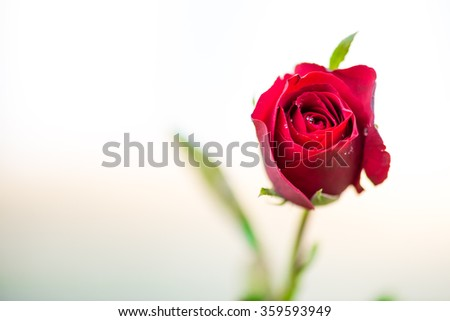 close up macro shot of a red rose - stock photo