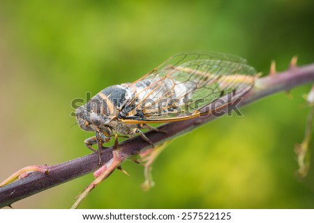 close-up macro shot of brown cicada on a branch