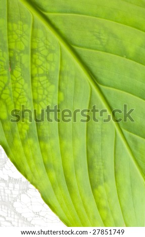 close up macro shot of green leaf vegetation with white lace shades