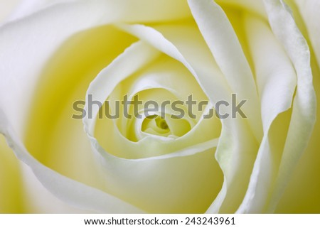close up macro shot of rose petals, spring floral background, shallow depth of field   - stock photo