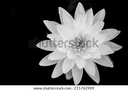 Close up macro top of white lotus flower on black background - stock photo