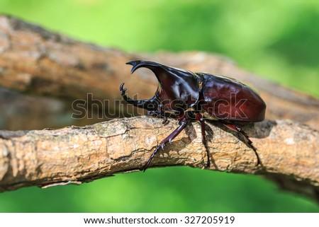 Close up male fighting beetle (rhinoceros beetle) on tree - stock photo