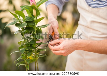 Close-up. Male florist pruning a plant in the greenhouse. - stock photo