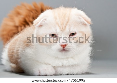 Close-up male kitten scottish fold breed on gray. No isolated.