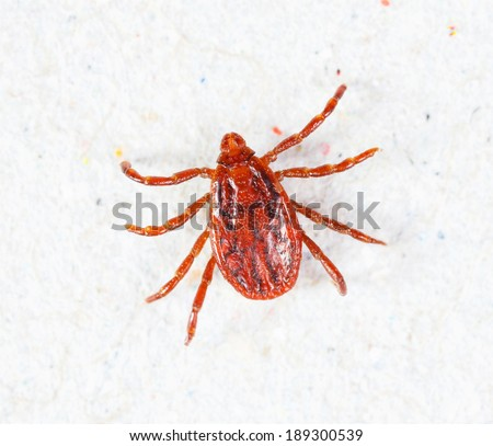 Close up male rhipicephalus sanguineus on recycle paper background - stock photo