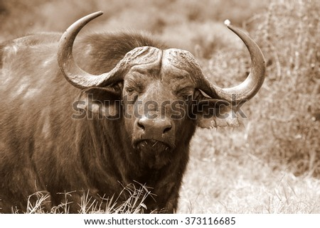 Close up monochrome portrait of cape buffalo head and horn. South Africa - stock photo