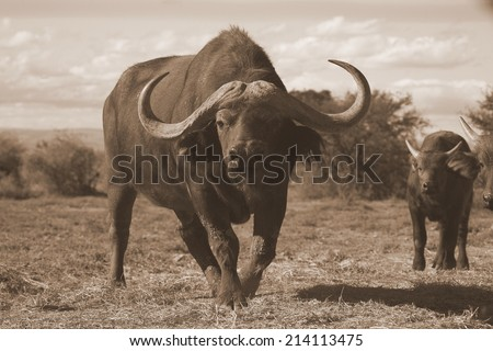 Close up monochrome portrait of cape buffalo head and horn with a calf. - stock photo
