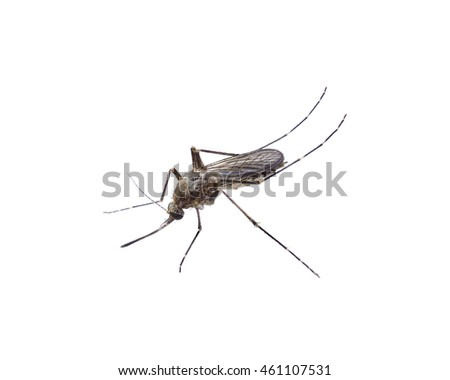 close-up Mosquito isolate on a white background