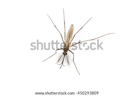 Close up Mosquito isolated on white background, Top view