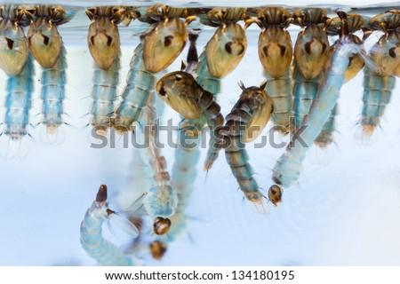 Close up mosquito pupae and larvae underwater - stock photo