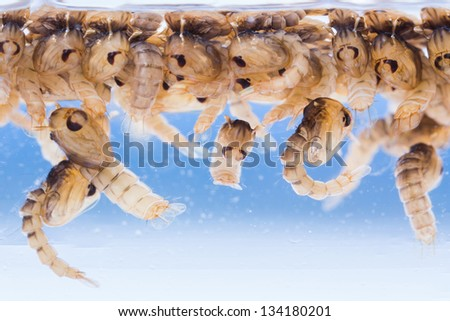 Close up Mosquito pupae underwater - stock photo