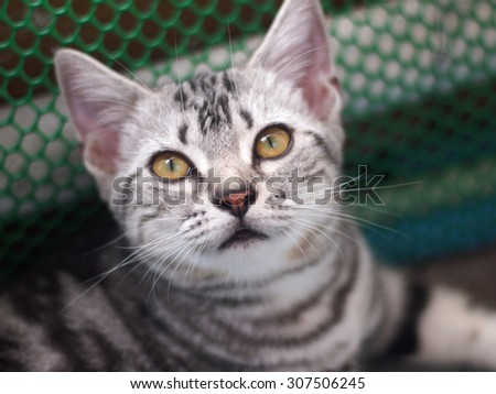 Close up muzzle of American Short Haired cat with big eyes, selective focus