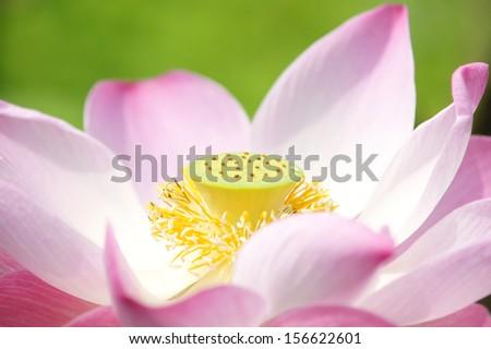 Close up natural pink lotus - stock photo