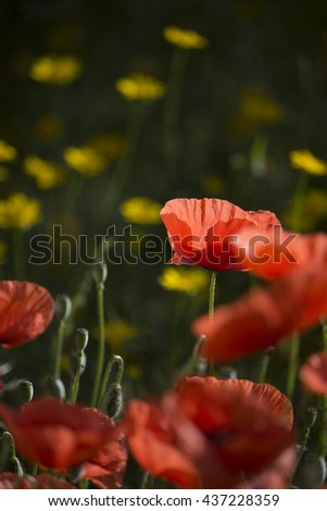 Close-up nature photo of poppy flowers and yellow dandelions in the background - stock photo
