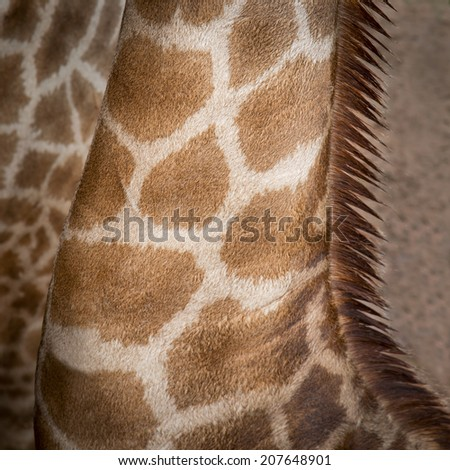 Close up neck Giraffe - stock photo
