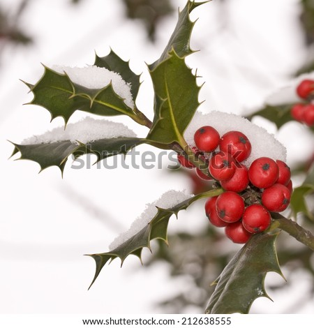 Close up od a branch of holly with red berries covered with snow - stock photo