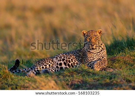 Close up of a a relaxed Leopard male. He enjoys the sunrise in the Masai Mara, Kenya. - stock photo