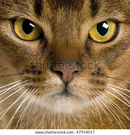 close up of a Abyssinian (9 months old) - stock photo