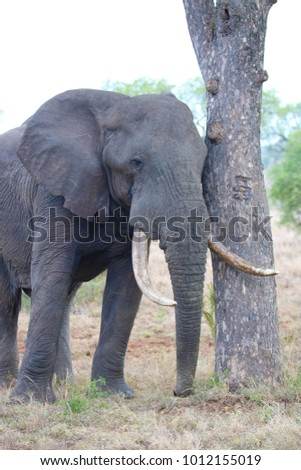close up of a african elephant bull resting by a marula tree