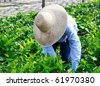Close up of a agricultural worker taking care of nursery crop - stock photo