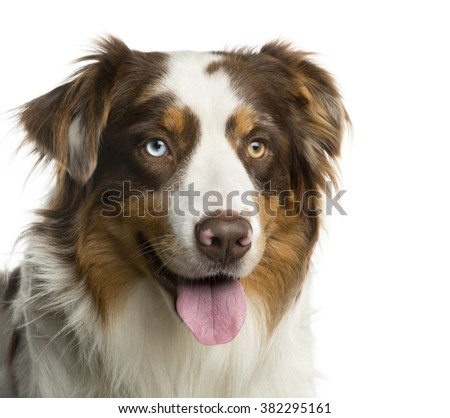 Close-up of a Australian Shepherd in front of a white background
