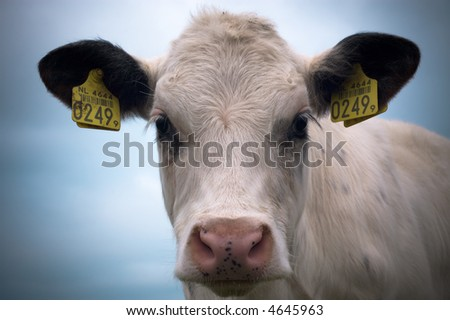 close-up of a baby cow - stock photo