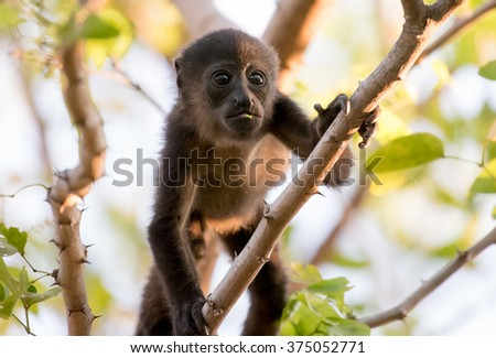 Close up of a baby howler monkey in a tree in Central America  - stock photo