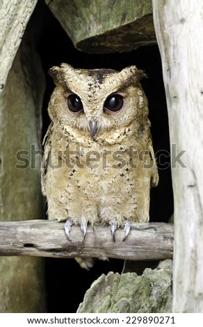 Close up of a baby Tawny Owl - stock photo