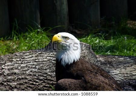 Close up of a bald eagle - stock photo