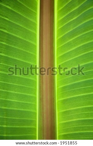 Close-up of a banana leaf from below - stock photo