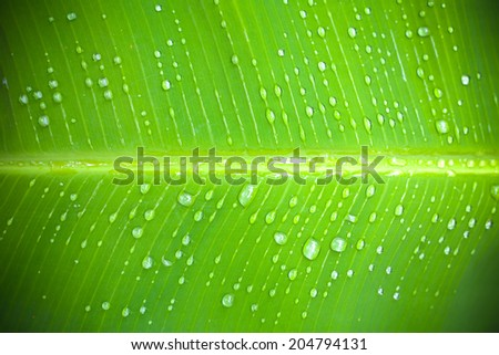 close up of a banana tree leaf with raindrops with vignette