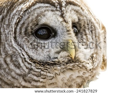 Close-up of a Barred Owl isolated on a white background. The Barred Owl is primarily a bird of eastern and northern U.S. forests - stock photo