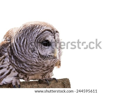 Close-up of a Barred Owl perched on a log and isolated on a white background.  The Barred Owl is primarily a bird of eastern and northern U.S. forests - stock photo