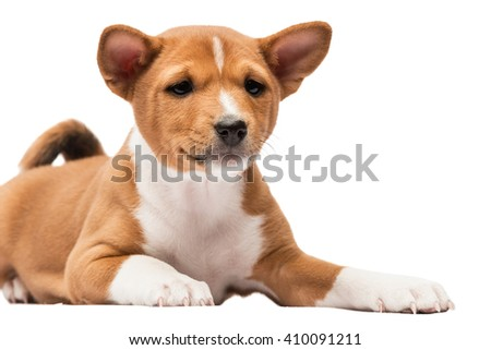 Close-up of a basenji puppy looking straight - stock photo