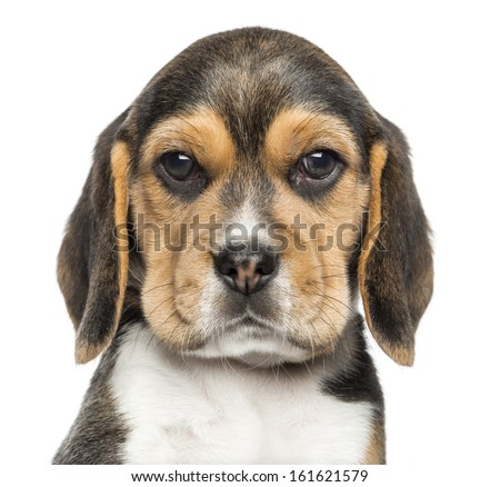 Close-up of a Beagle puppy looking at the camera, isolated on white - stock photo