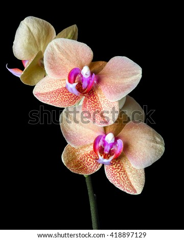 Close up of a beautiful blooming Cream colored Phalaenopsis â??Surf Songâ orchid