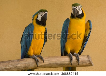 close up of a beautiful blue and yellow macaw (Ara ararauna) - stock photo