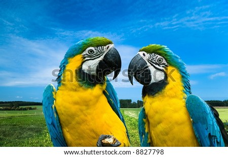 close-up of a beautiful blue-and-yellow macaw's in love (Ara ararauna) - stock photo
