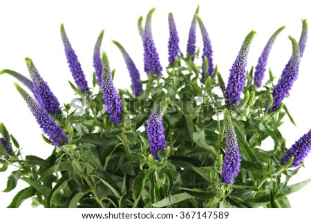 Close-up of a beautiful bouquet of purple flowers Veronica. Isolated on white background - stock photo