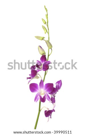 close-up of a beautiful bud orchid against white background - stock photo