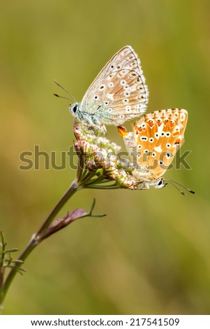 Close up of a beautiful butterflies (Common Blue,Polyommatus icarus)  - stock photo